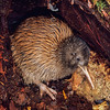 11001-02713 Haast brown kiwi, or Haast tokoeka (Apteryx australis australis) portrait of 7 month old juvenile leaving burrow