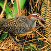 11001-47715 Banded rail (Gallirallus philippensis assimilis) male in wetland