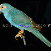 11001-73604 Red-crowned parakeet (Cyanoramphus novaezelandiae novaezelandiae)  blue mutation. This museum mounted speciman is at least 120 years old. It is the only blue mutation of a wild kakariki ever documented, it was collected in Southland in the 1800's. The remarkable colour is caused by the absence of Psittacin (responsible for the red, orange and yellow pigments in parrots)