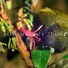 11001-83902 Bellbird (Anthornis melanura melanura) male feeding on tree fuchsia nectar. Otago Peninsula.