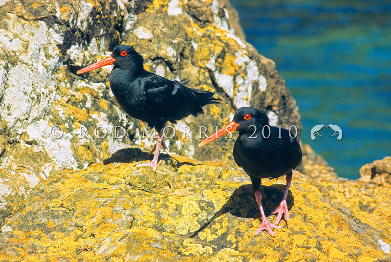 11001-53014  Variable oystercatcher (Haematopus unicolor) pair on coastal rocks at Riverton