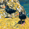 11001-53014  Variable oystercatcher (Haematopus unicolor) pair on coastal rocks at Riverton