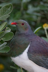 New Zealand Pigeon 5552