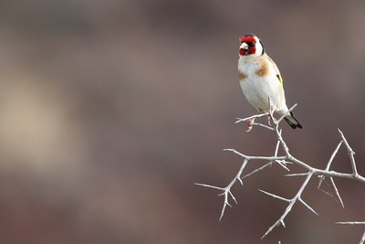 Goldfinch 5264
