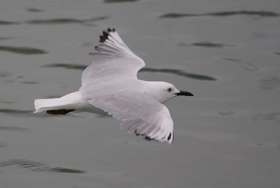 Black-billed Gull 5047