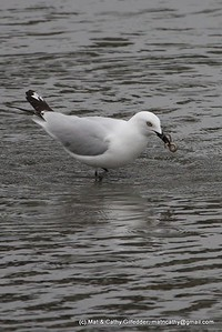 Black-billed Gull 5052
