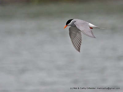 Black-fronted Tern 5614