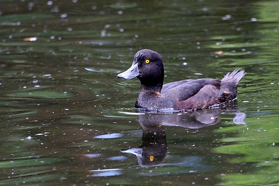 New Zealand Scaup 5530