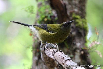 New Zealand Bellbird 5407