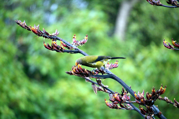 Endemic New Zealand Bellbird on Flax bush