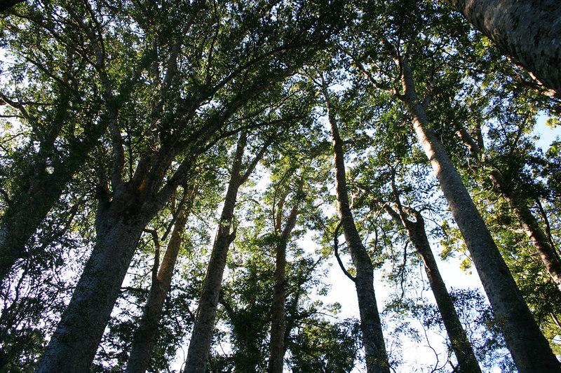 Puketi Kauri Rain Forest