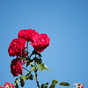 Roses at rest stop