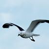 Blackbacked Gull