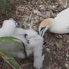 Australasian Gannets (Mom, Leave me alone!)