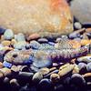 11004-11504 Bluegill bully (Gobiomorphus hubbsi)