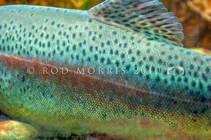 DSC_3355 Rainbow trout (Oncorhynchus mykiss) female showing colour and pattern*