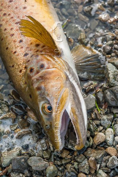 DSC_5920 Brown trout (Salmo trutta) lake fish, caught on a winter license in Lake Pearson.