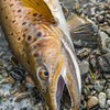 DSC_5920 Brown trout (Salmo trutta) lake fish, caught on a winter license in Lake Pearson *