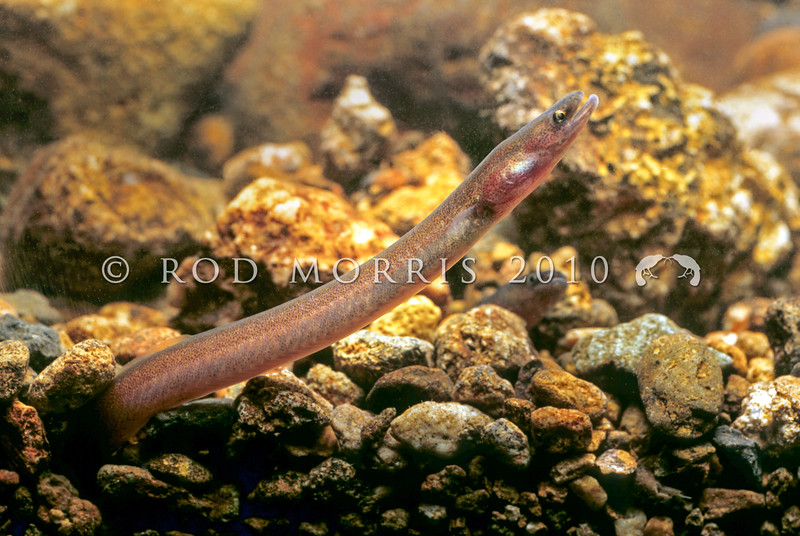 11004-02012 Shortfin eel (Anguilla australis) young eels hiding in streambed. Coromandel Peninsula *