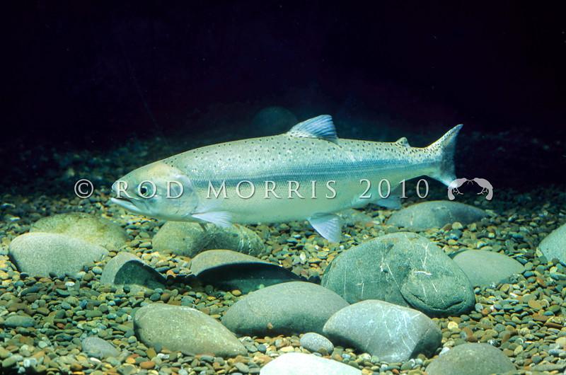 11004-08702 Quinnat or Chinook salmon (Oncorhynchus tshawytscha) *