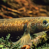 11004-04803 Eldons galaxias (Galaxias eldoni) with only 18 known populations left, Eldon's galaxias are one of New Zealand's rarest freshwater fish. They are found in eastern areas of Otago. They live in small tributaries of the Taieri, Waipori and Tokomairiro rivers, draining from the Lammerlaw range, downstream of Lake Mahinerangi. They make their home under banks and amongst the gravels of very small headwater streams that are typically about 200–900 m above sea level and surrounded by vegetation such as tussock, mānuka and coprosma. Silver Stream
