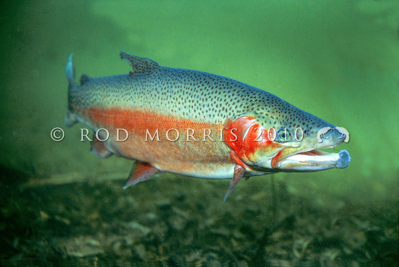 11004-07001 Rainbow trout (Oncorhynchus mykiss) *