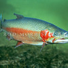 11004-07001 Rainbow trout (Oncorhynchus mykiss)