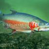 11004-07001 Rainbow trout (Oncorhynchus mykiss)