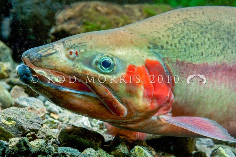 DSC_3906 Rainbow trout (Oncorhynchus mykiss) male *
