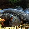 11004-11301 Giant bully (Gobiomorphus gobioides) large male bullies turn 'black' at breeding time. Lake Ellesmere *