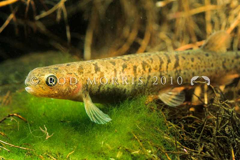 11004-05312 Gollum galaxias (Galaxias gollumoides) one of 12 species of non-migratory endemic galaxiids from southern New Zealand. They are classified Nationally vulnerable, occupying an area of 40.8 hectares. Gollumoides can be found in a wide range of habitats from lowland wetlands near sea level to small headwater streams in high country tussocklands up to 1100 m above sea level. They are distributed throughout Southland with population strongholds present in the Mataura, Oreti, Waiau, Aparima, Catlins and Owaka rivers. Incredibly, some populations can even be found on Stewart Island/Rakiura, and are thought to have been distributed there during the Pleistocene ice age when a land-bridge was present. Allen Creek, Kingston