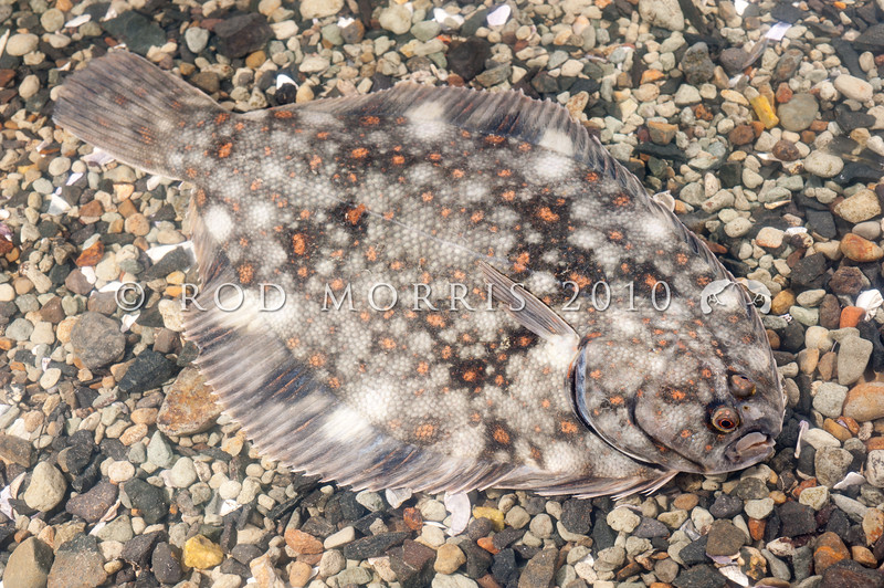 DSC_5048 Black flounder (Rhombosolea retiaria) are most common in estuaries, harbours and lower levels of rivers, and may venture many kilometres upstream.