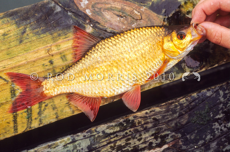 11004-09705 Golden Rudd (Scardinius erythrophthalmus) originally came from temperate western Europe, and were brought to New Zealand in the 1960s. They are considered a pest fish outside the Auckland/Waikato region. Lake Maraetai.