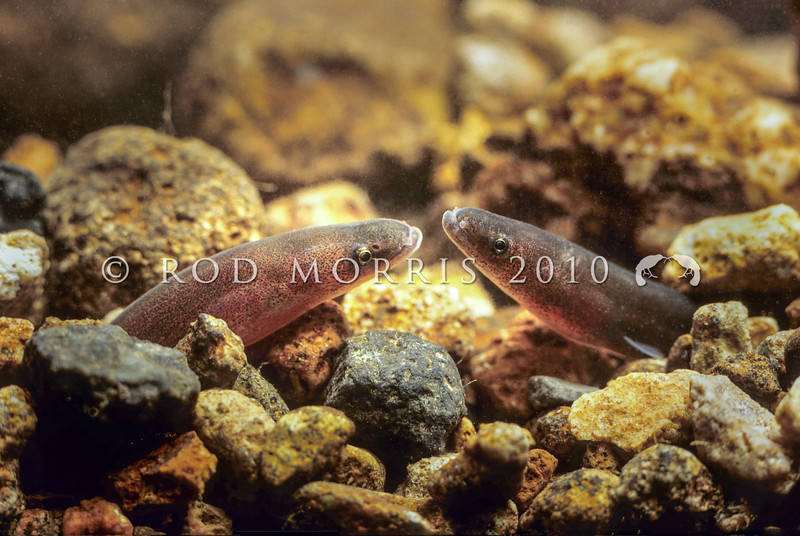 11004-02008 Shortfin eel (Anguilla australis) young eels hiding in streambed. Coromandel Peninsula.