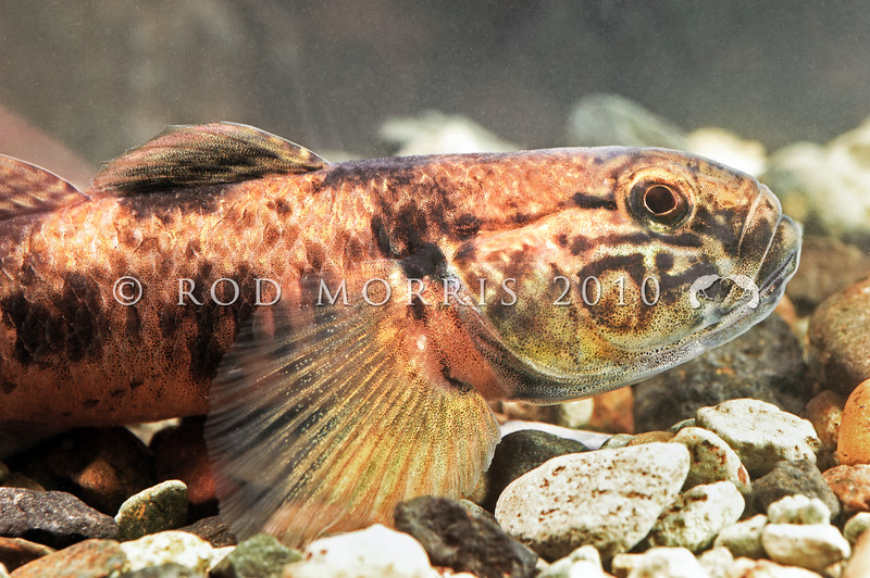 DSC_5253 Common bully (Gobiomorphus cotidianus) profile of head of a large male. Waitati *