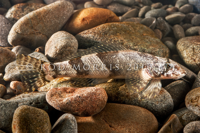 DSC_0403 Torrentfish (Cheimarrichthys fosteri) favours swift, tumbling gravelly rivers. Waianakarua River *