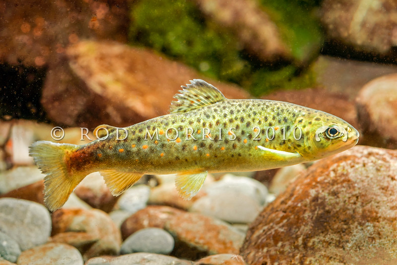 DSC_3511 Brown trout (Salmo trutta) *