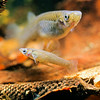 11004-39001 Western Mosquito fish (Gambusia affinis) male (foreground), and female. Gambusia were released in New Zealand in the 1930s to control mosquitoes, but as with a number of other countries they soon became pests competing with our native fish. Today they are classed as an 'unwanted organism' under the Biosecurity Act 1993, and it is unlawful to possess or release this fish. Their high density populations reduce galaxiids in shallow lakes and still-water habitats, and they may also affect mudfish. They also displace native bullies from shallow, marginal waters of lakes in summer months. Auckland *