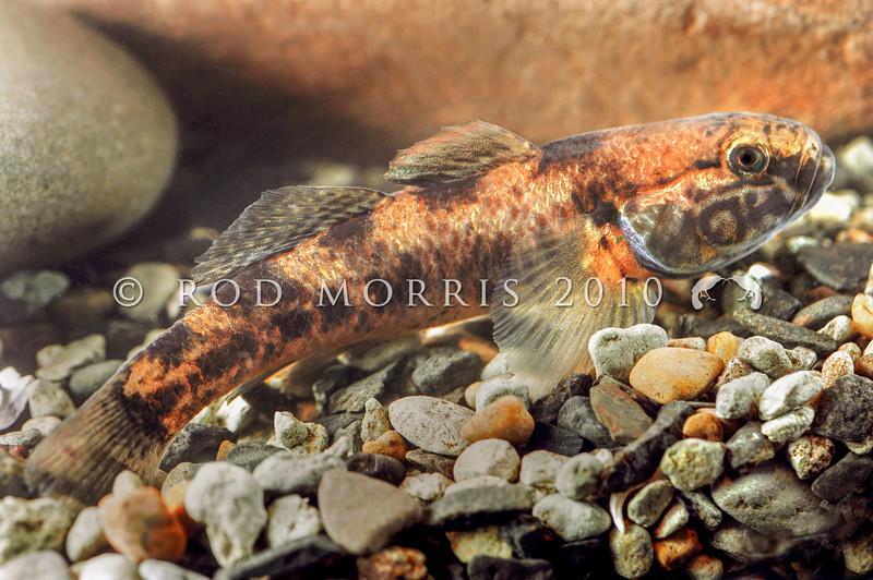 DSC_5341 Common bully, or toitoi (Gobiomorphus cotidianus) very large male. Waitati *