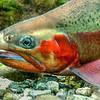 DSC_3835 Rainbow trout (Oncorhynchus mykiss) male *