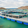 DSC_5356 Quinnat or Chinook salmon (Oncorhynchus tshawytscha) a commercial salmon farm on the Ruataniwha Canals near Twizel.