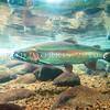 DSC_3061 Rainbow trout (Oncorhynchus mykiss) male in spawning stream, Turangi.