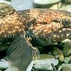 11004-11314 Giant bully (Gobiomorphus gobioides) large male. Lake Ellesmere *