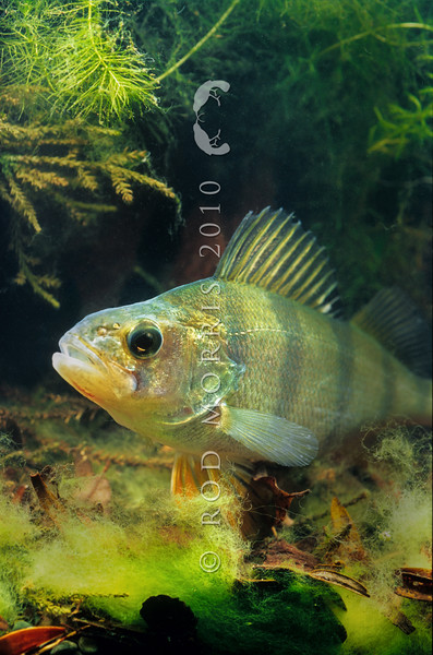 11004-10108 Perch (Perca fluviatilis) were introduced to New Zealand in the late 1860s and early 1870s from Europe and are now widespread. Perch are easy to catch, making them popular with coarse fishermen. Since the 1970s, new populations have been established illegally in many lakes and ponds to create coarse fishing opportunities. However these voracious predators reduce the abundance of our native bullies, smelt and galaxiids in lakes and streams. They also reduce crayfish numbers and are assocated with the development of cyanobacterial blooms in lakes. Lake Waihola *