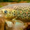 DSC_2389 Brown trout (Salmo trutta) *