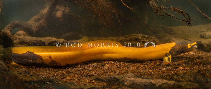 DSC_4553 Longfin eel, or tuna kuwharuwharu (Anguilla dieffenbachii) 'golden eel' - a bright yellow longfin measuring 780mm long, found in the wild. Endemic. Females may live to be 80+ years, growing large and heavy enough to become the 'taniwha' of maori legend. This is possibly the worlds largest freshwater eel, however a dramatic decline in water quality in many areas has resulted in the shortfin eel occupying habitat that formerly held our longfins. Typically golden eels darken with age, as can be seen around the head and lower body of this individual. Waihou River, Te Aroha *