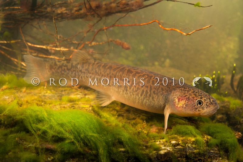 DSC_0995  Teviot flathead galaxias (Galaxias 'Teviot') one of 12 species of endemic, non-migratory galaxiids from southern New Zealand. Over the last decade, nearly half the known Teviot populations have been lost. This can be directly linked to the spread of sports fish (trout and brook char), which eat galaxiids; and changes in land use such as stock access to streams, reduction of native vegetation, land development and forest harvesting. They are classified Nationally critical, now occupying an area of only 0.5 hectares. The last few populations remain in a few headwater streams small enough to step across in the Teviot River, surrounding Lake Onslow *