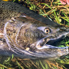 11004-08511 Quinnat or Chinook salmon (Oncorhynchus tshawytscha) head of wild male in spawning colours *