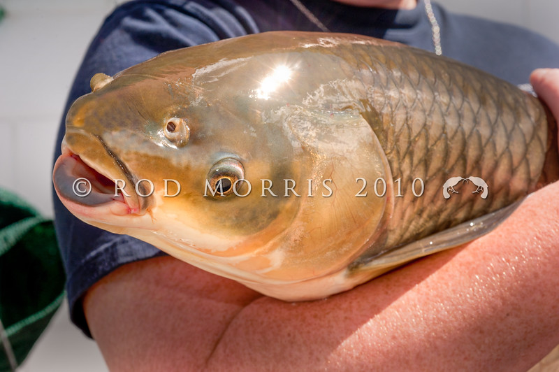 DSC_0695 Grass carp (Ctenopharyngodon idella) were first introduced to NZ in the late 1960's for the purposes of aquatic weed control. Now aquaculturists are looking into their potential to be farmed as food fish for the table.