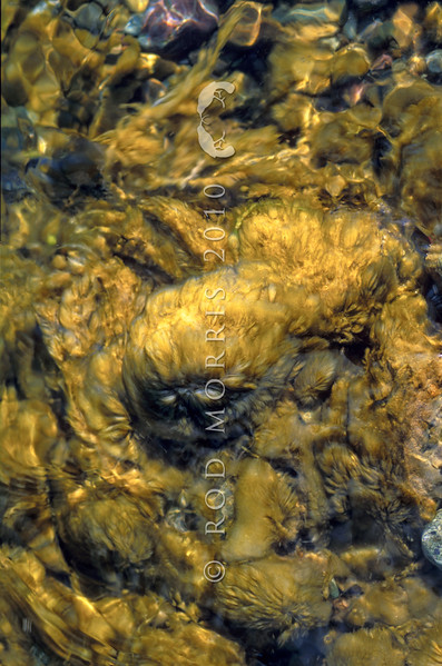 11008-20001 Didymo, or rock snot (Didymosphenia geminata) is a species of diatom that blooms in freshwater rivers and streams, with consistently cold water temperatures. In late Winter it can form large mats on the bottom of rivers and streams. Didymo was first reported in New Zealand in the Lower Waiau in 2004. It is currently found in over 150 South Island Rivers, but is not in the North Island. Waiau River